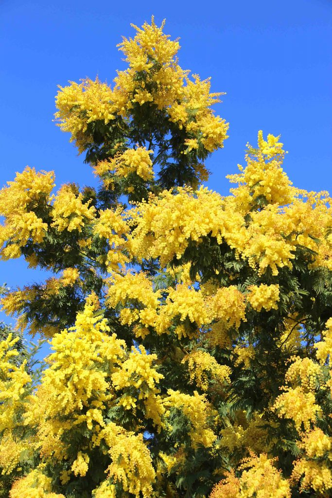 Jaune mimosa et ciel azuré
