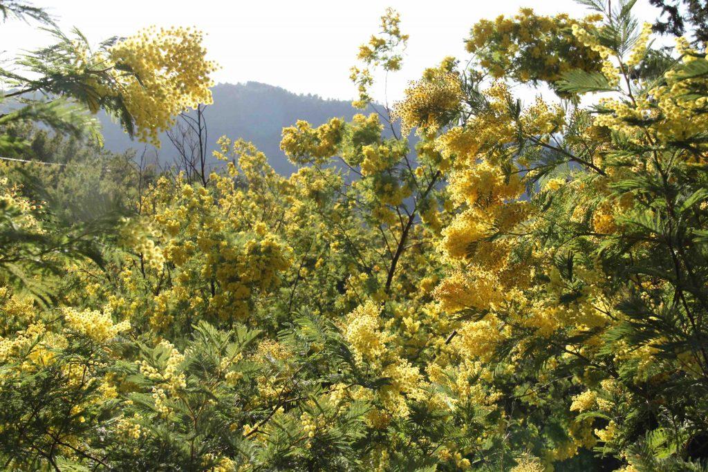 Mimosa en fleurs à contre-jour