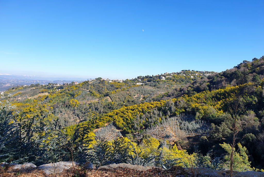 Mimosa et eucalyptus sur les collines du Tanneron