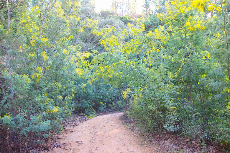 Randonnée dans les forêts de mimosa du Tanneron