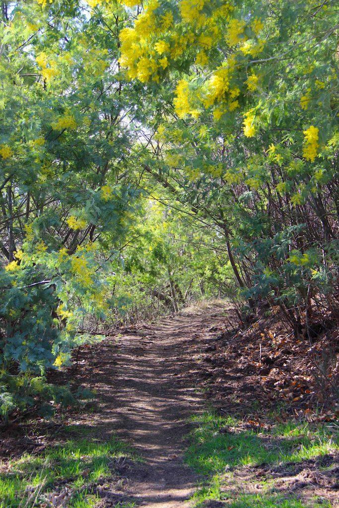 Sentier dans le mimosa