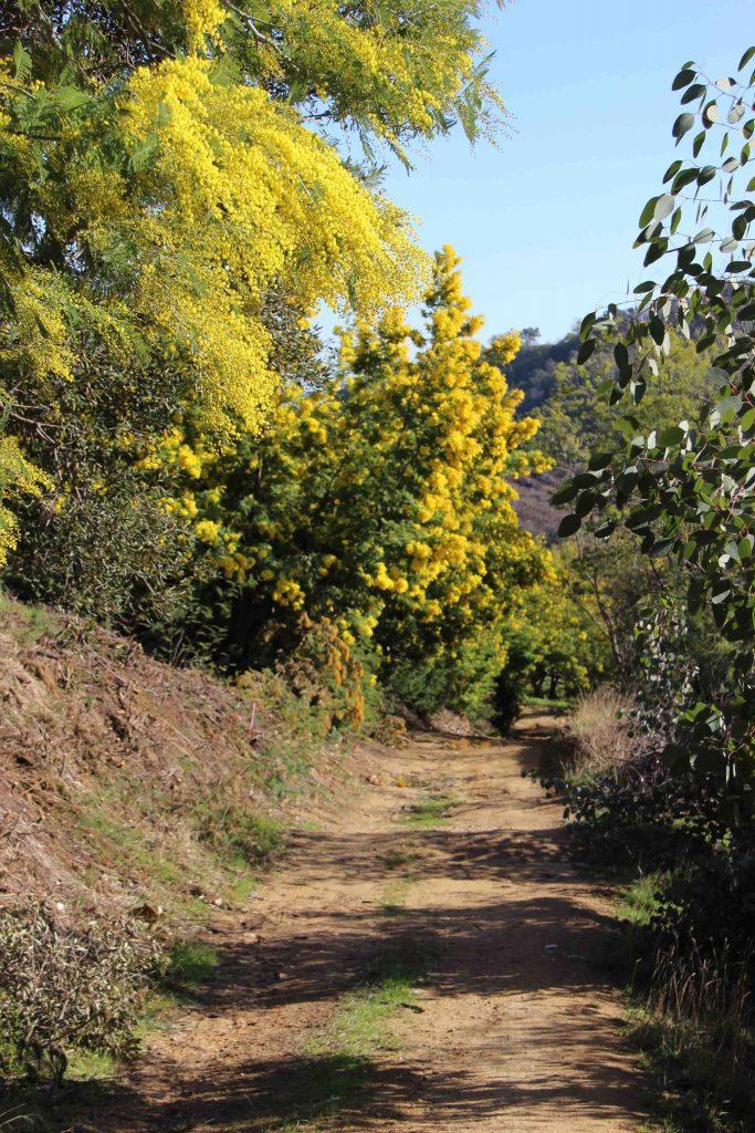 Sentier de randonnée dans le mimosa