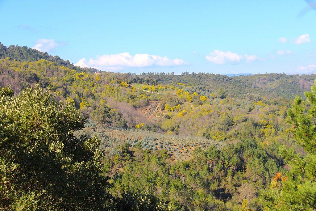 Une colline de mimosa du Tanneron