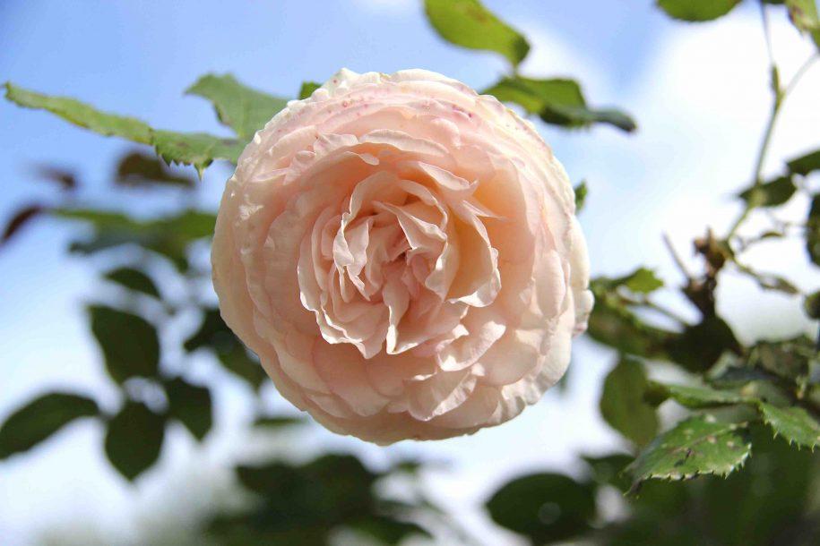 Rose comme un pompon