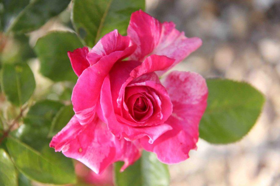 Rose fuschia mouchetée
