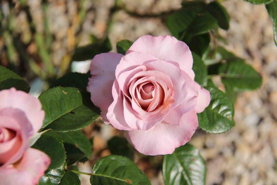 Roses couleur parme